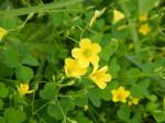 Yellow_wood_sorrel