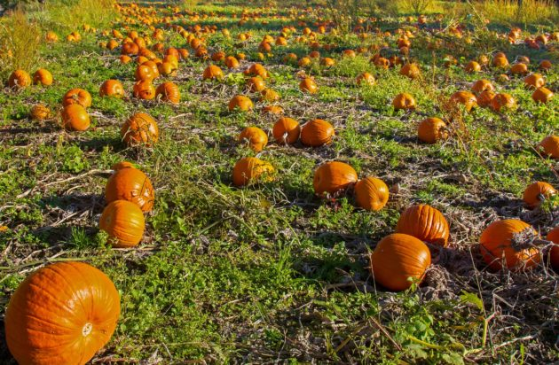 pumpkin fields